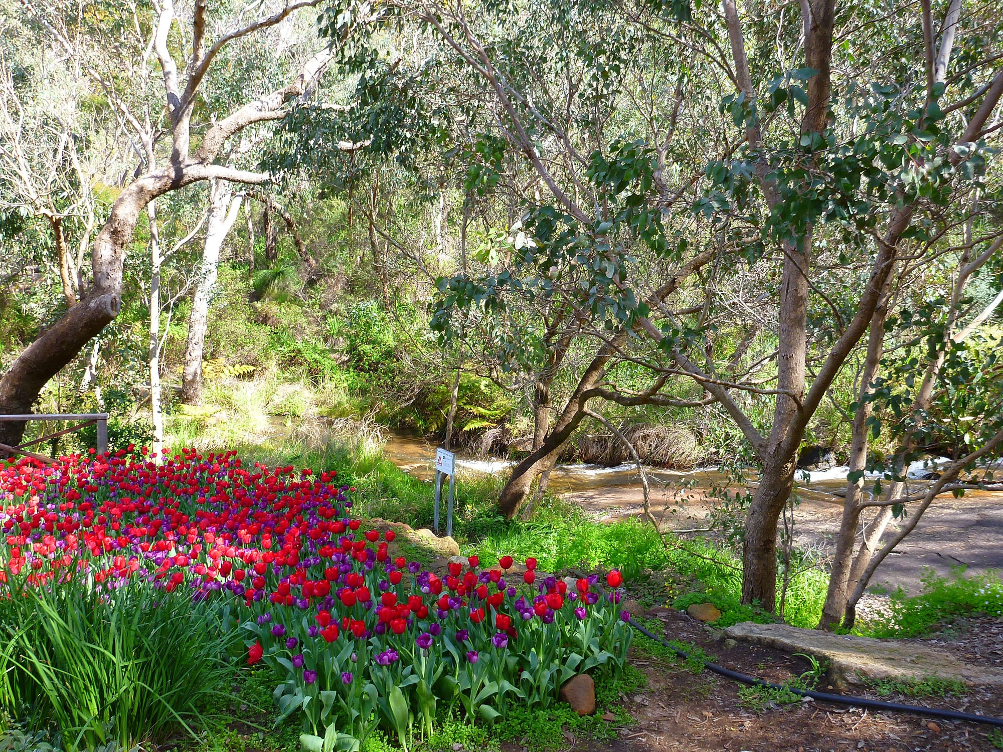 tulips and creek