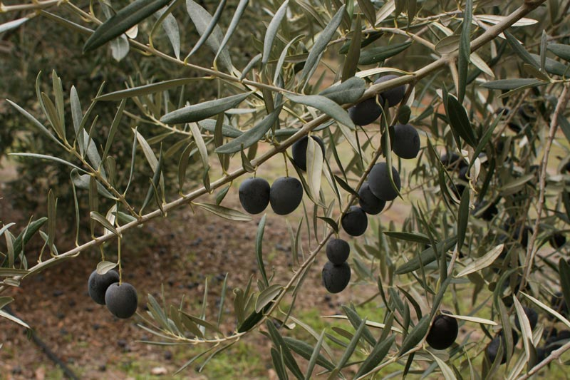 Table-Olives-WA