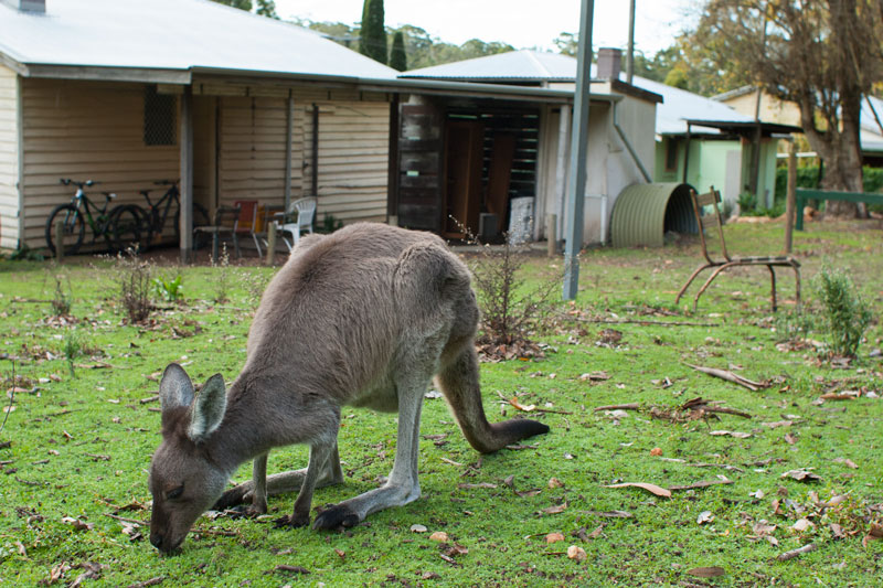 kangaroo-local-wildlife