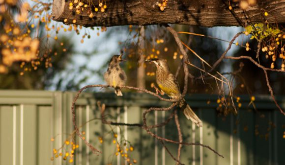 Red-Wattle-Honey-Eater-Perth